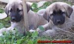 Jasmine and 'T', anatolian pups