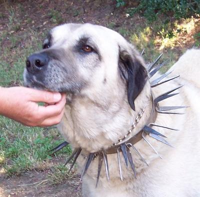 Large Spiked Dog Collar