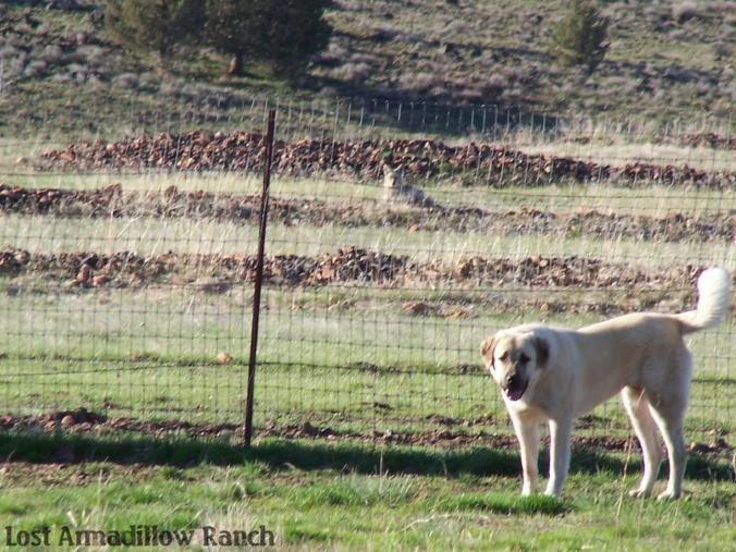 Grace knows coyote is in the field!