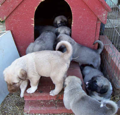 Puppies and doghouse