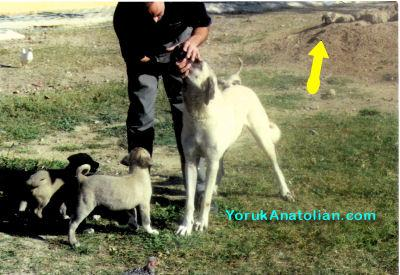 Examining Turkish Dogs