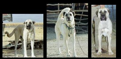 What is a Kangal Dog?