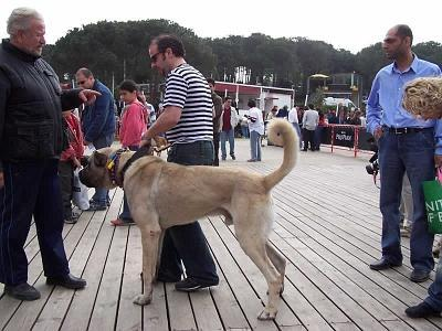 What is a Kangal Dog