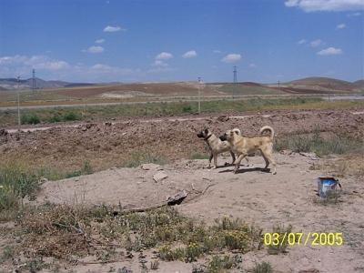 Dogs which escaped near the road to Ulas